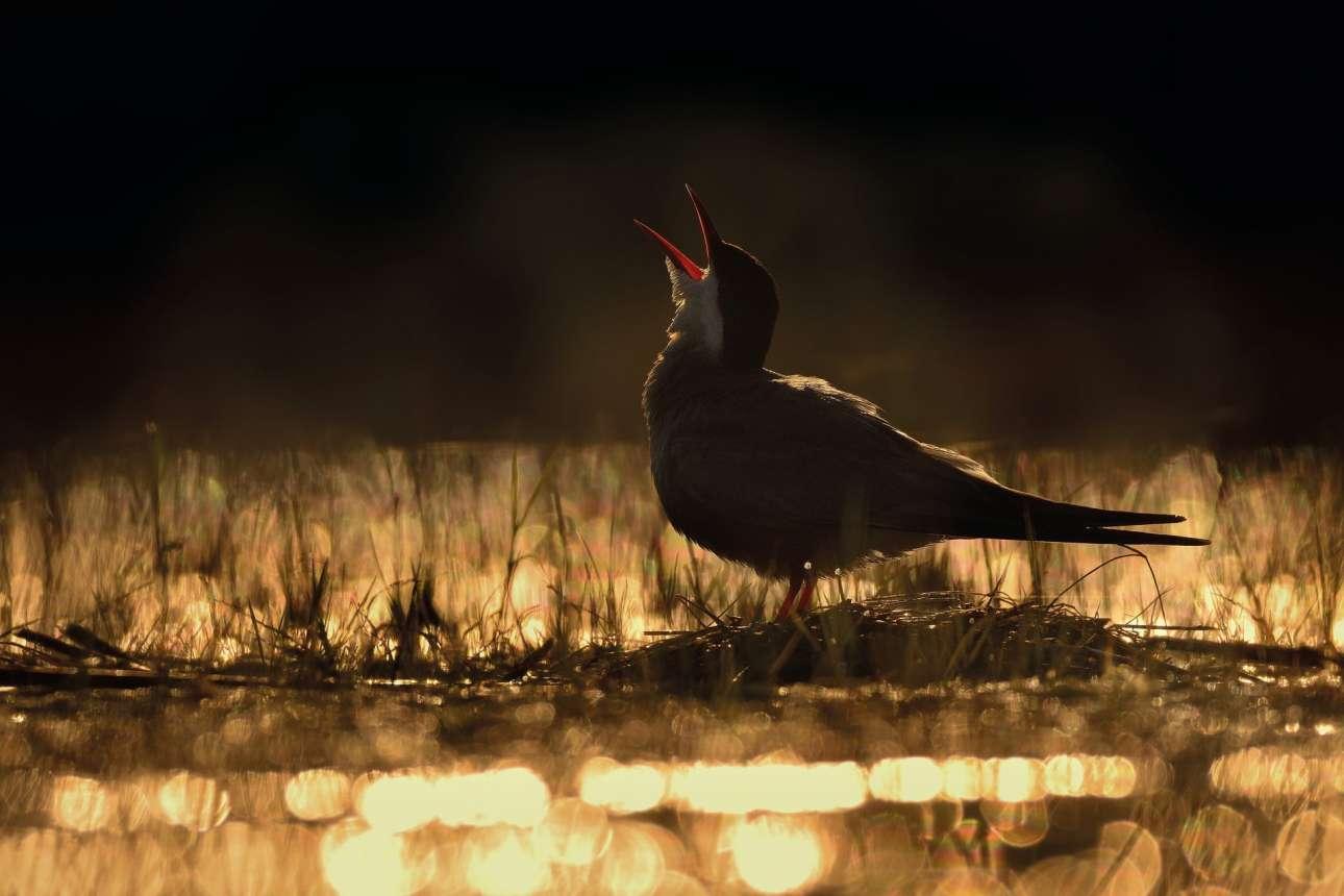 Χρυσό βραβείο, «Νέος φωτογράφος πτηνών της χρονιάς». Μουστακογλάρονο καλεί Ηλιο..