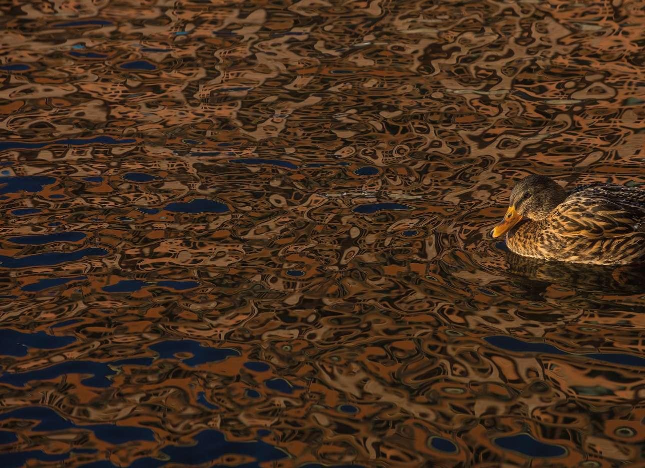 Τιμητική αναφορά, κατηγορία «Πουλιά στο περιβάλλον». Αγριόπαπια «καμουφλάρεται» στα νερά λίμνης στην Στοκχόλμη
