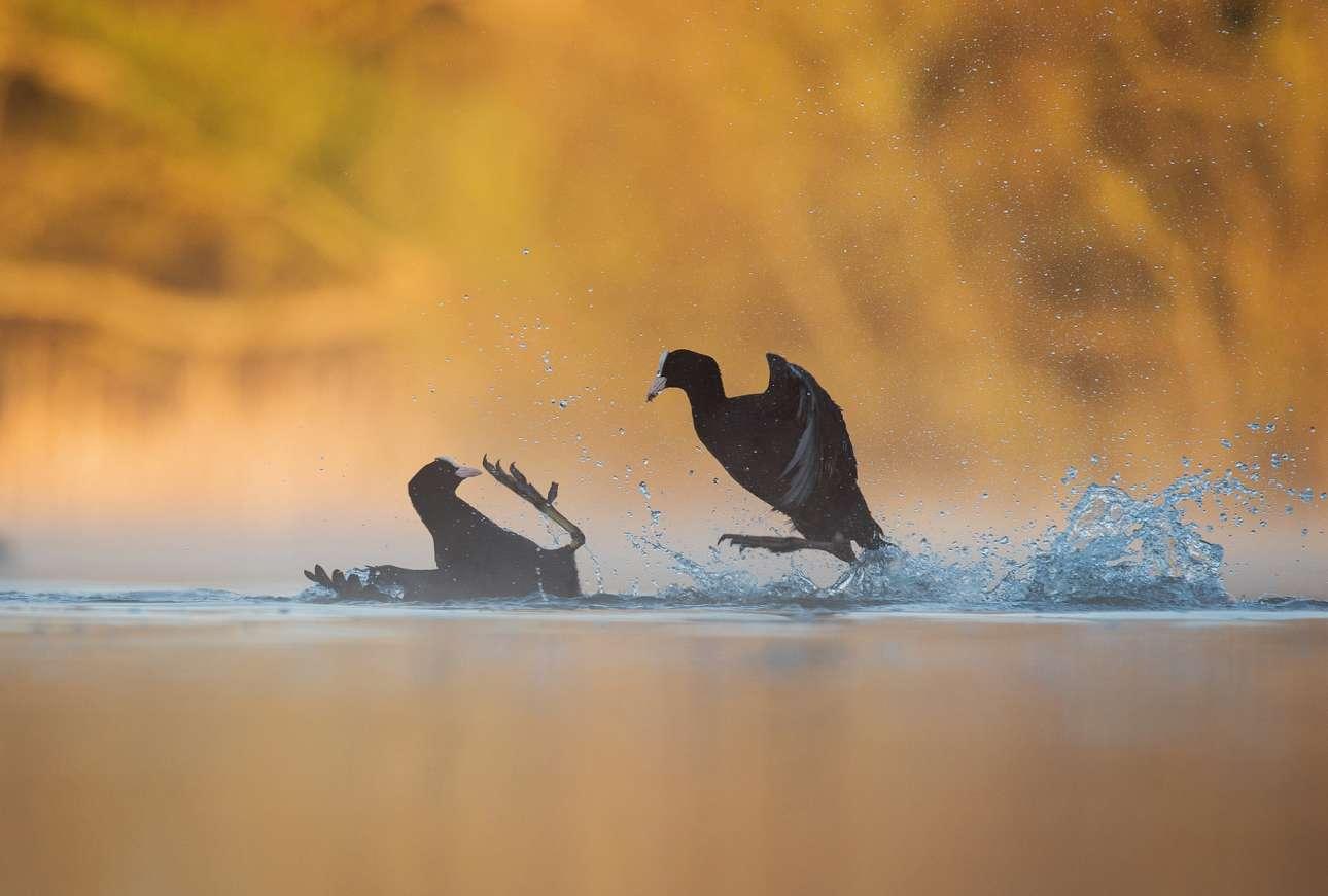 Χρυσό βραβείο, κατηγορία «Συμπεριφορά Πτηνών». Δύο νερόκοτες μαλώνουν με φόντο το χρυσαφί χρώμα της αυγής
