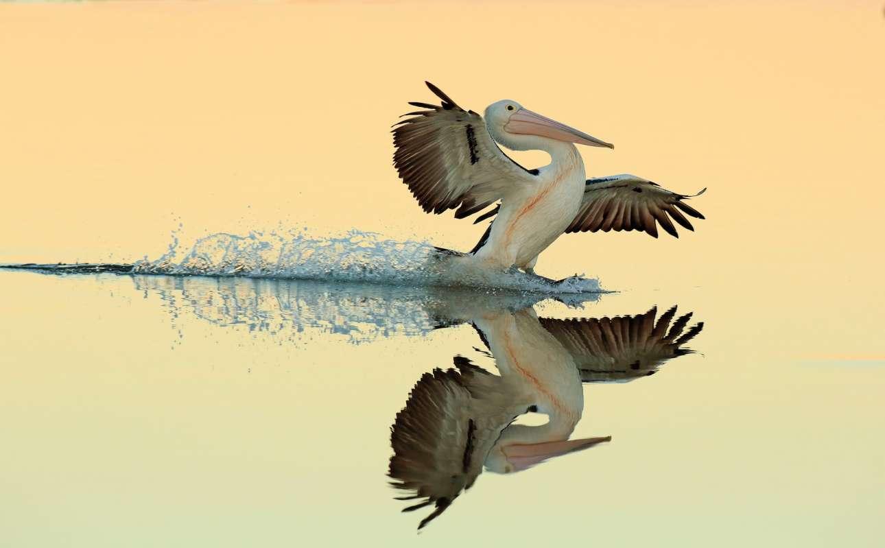 Χρυσό βραβείο, κατηγορία «Πουλιά εν Πτήσει». Αυστραλιανός πελεκάνος προσγειώνεται στο νερό. Τα ήρεμα, ρηχά νερά και το απαλό απογευματινό φως δημιουργούν εκπληκτικές αντανακλάσεις