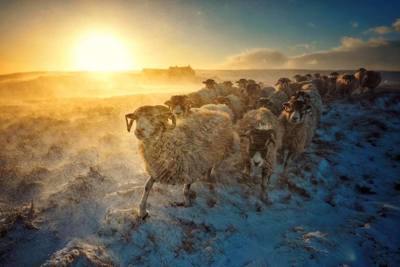 Κοπάδι προβάτων ταξιδεύει μέσα στα χιόνια του βόρειου Γιορκσάιρ στη Βρετανία