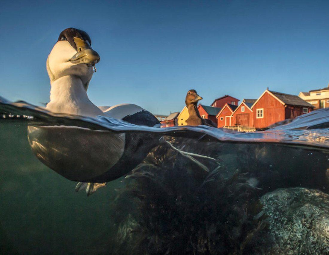 Χάλκινο βραβείο, κατηγορία «Καλύτερο Πορτρέτο». Δύο πάπιες απολαμβάνουν το πλατσούρισμα τους σε ποτάμι της Νορβηγίας