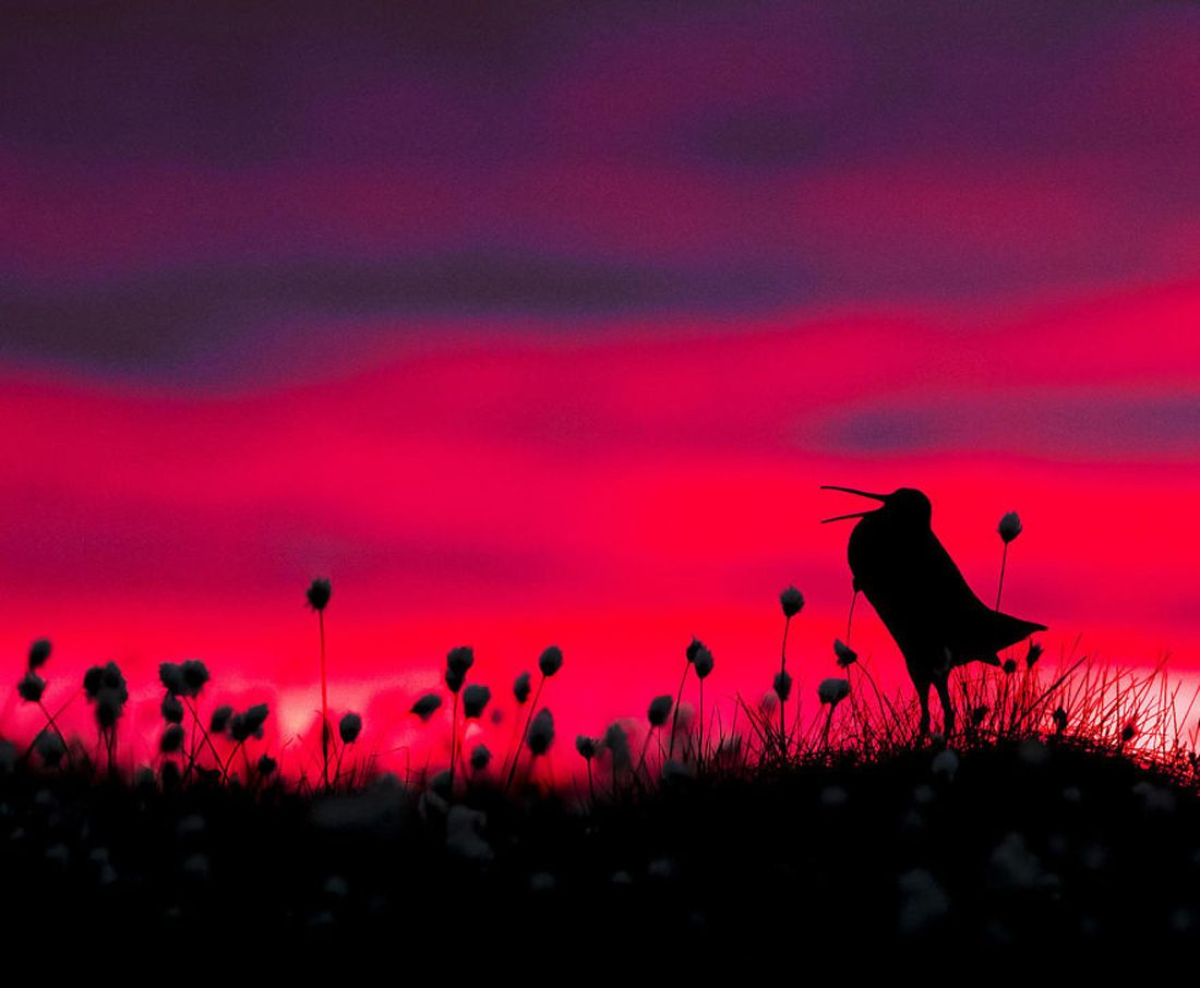 Τιμητική αναφορά, κατηγορία «Συμπεριφορά Πτηνών». Η έντονη μαύρη σιλουέτα της μπεκάτσας έρχεται σε αντίθεση με τα εκπληκτικά χρώματα του σούρουπου