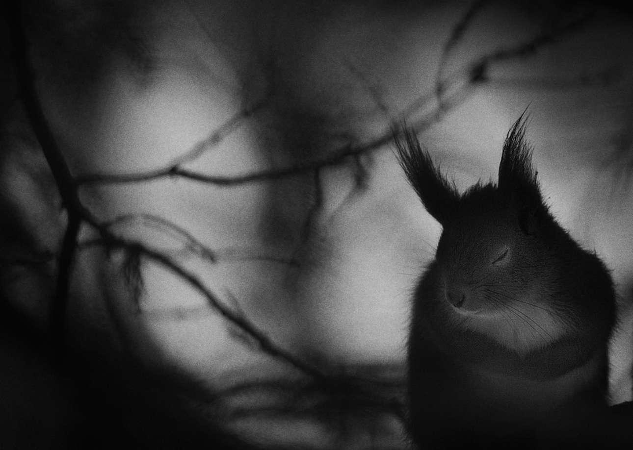 «Χειμωνιάτικη Παύση». Ο κόκκινος σκίουρος αναζητούσε φαγητό σε δάσος της βόρειας Σουηδίας, ένα κρύο πρωινό του Φεβρουαρίου. Ο φωτογράφος αιχμαλώτισε τη στιγμή που το χαριτωμένο ζώο κάνει ένα διάλειμμα για να ζεσταθεί, κλείνοντας τα μάτια του και φέρνοντας τις πατούσες κοντά στο χνουδωτό τρίχωμα του. Μία εικόνα που αποδίδει το πνεύμα του χειμώνα εξαιρετικά