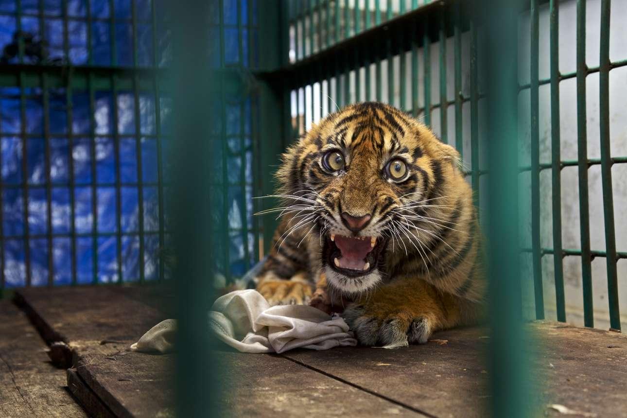 «Σώθηκε, αλλά φυλακίστηκε». Το πίσω πόδι της έξι μηνών τίγρης της Σουμάτρα είχε πιαστεί και κατακρεουργηθεί σε μία παγίδα που είχαν τοποθετήσει εργάτες φυτειών φοινικελαίου. Η τραυματισμένη τίγρης εντοπίστηκε έπειτα από τέσσερις ημέρες, αλλά το πόδι της έπρεπε να ακρωτηριαστεί. Τώρα ζει σε ένα κλουβί στο ζωολογικό κήπο της Ιάβας στην Ινδονησία...