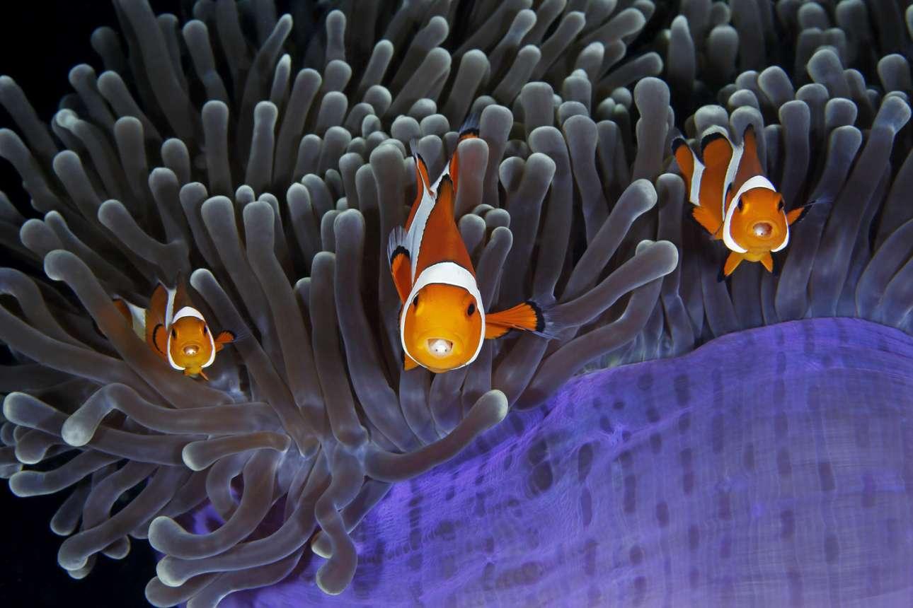 Ψάρια κλόουν δείχνουν τα παρασιτικά ισόποδα που ζουν στο στόμα τους. Με πολλή υπομονή και λίγη τύχη, ο φωτογράφος κατάφερε να συλλάβει αυτήν την εκπληκτική στιγμή, όπου μάτια ξεπροβάλλουν από το στόμα των ψαριών