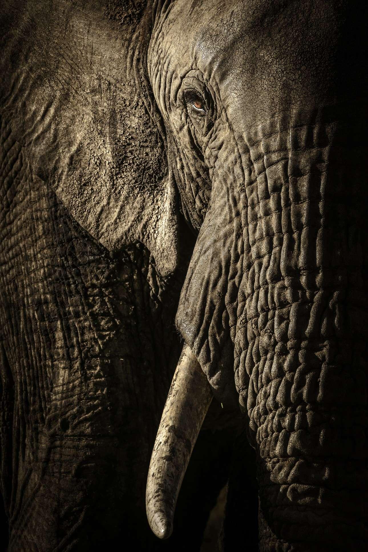 «Η δύναμη της μητριαρχίας». Θηλυκός ελέφαντας οδηγεί ένα κοπάδι σε νερόλακκο στο εθνικό πάρκο Μασάι Μάρα, στην Κένυα. Το φως του δειλινού τονίζει κάθε ρυτίδα, τρίχα και λεπτομέρεια του δέρματος του επιβλητικού ζώου