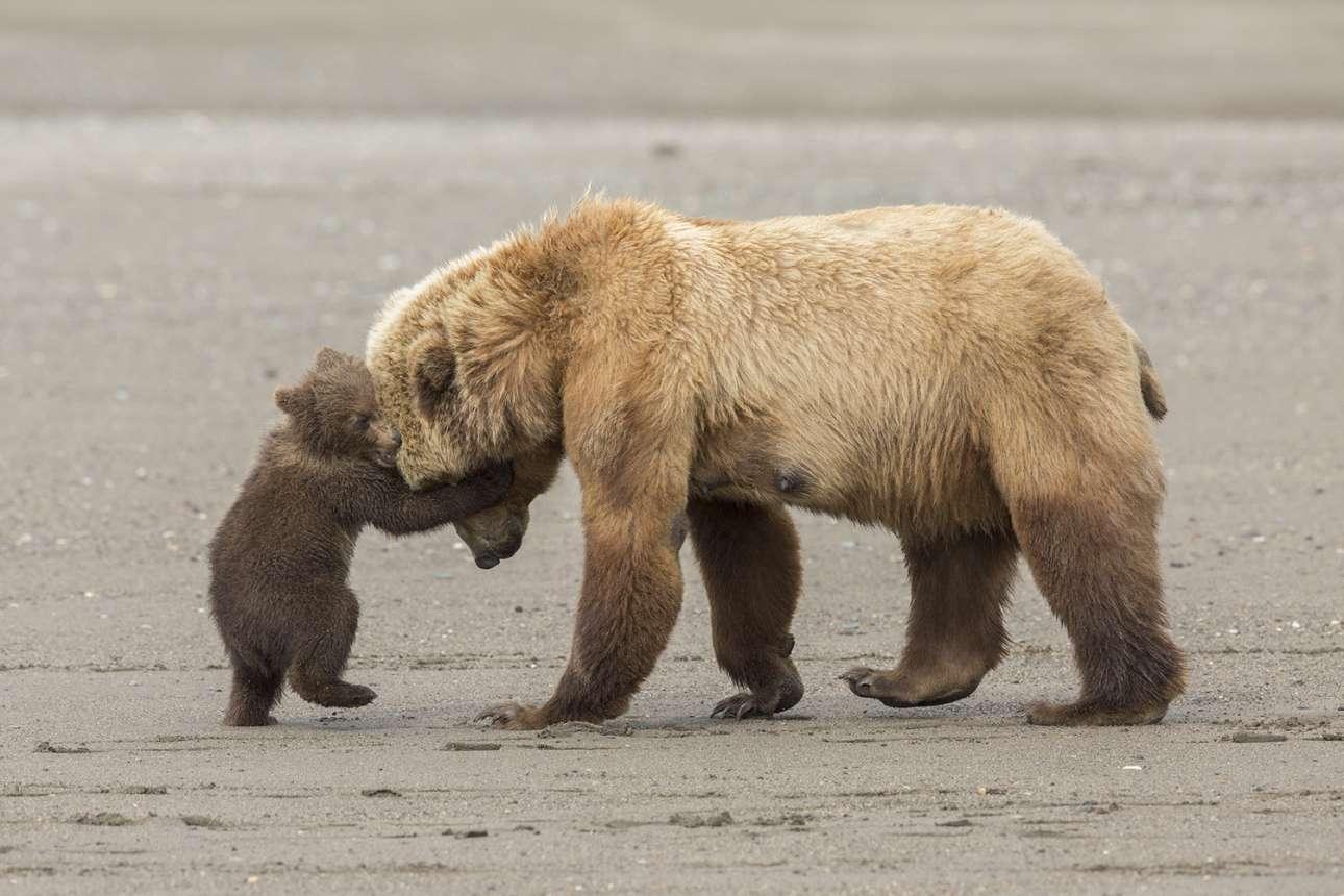 «Αγκαλιά Αρκούδων». Μια ματιά στην οικογενειακή ζωή των καφέ αρκούδων στο εθνικό πάρκο της Αλάσκας. Εχοντας μόλις ψαρέψει όστρακα στην ακτή, ένα αρκουδάκι παίζει και αγκαλιάζει την μητέρα του