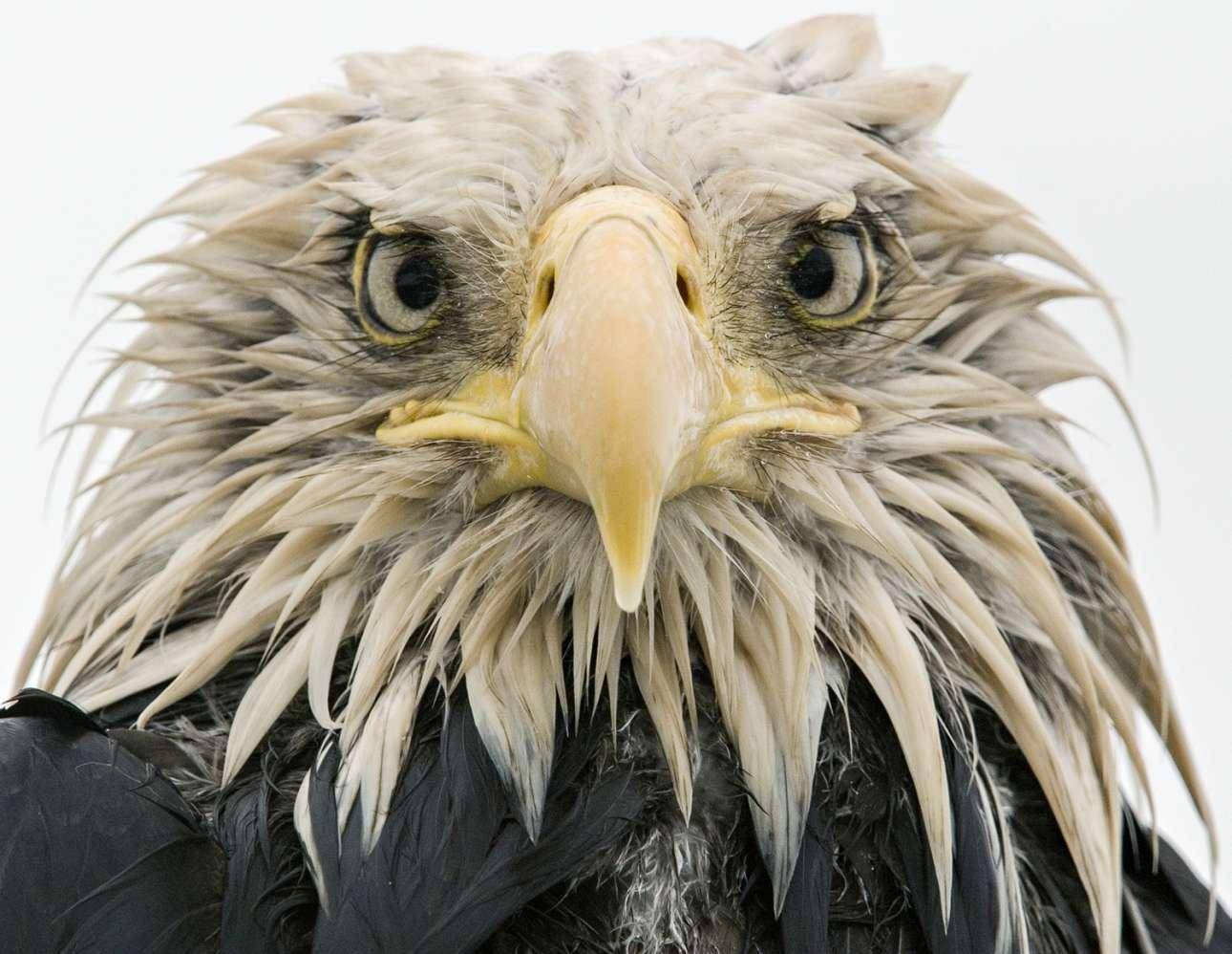 «Τολμηρός αετός». Βρεγμένος μέχρι το κόκκαλο, ένας «φαλακρός» αετός πλησιάζει γεμάτος θάρρος την κάμερα, στο νησί Αμακνάκ της Αλάσκα
