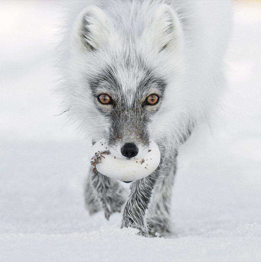 «Αρκτικός θησαυρός». Αρκτική αλεπού κουβαλάει ένα κλεμμένο αυγό χήνας. Τα αυγά αυτά αποθηκεύονται, θάβονται μέσα στο παγωμένο χώμα της τούνδρας και παραμένουν βρώσιμα για αρκετούς μήνες