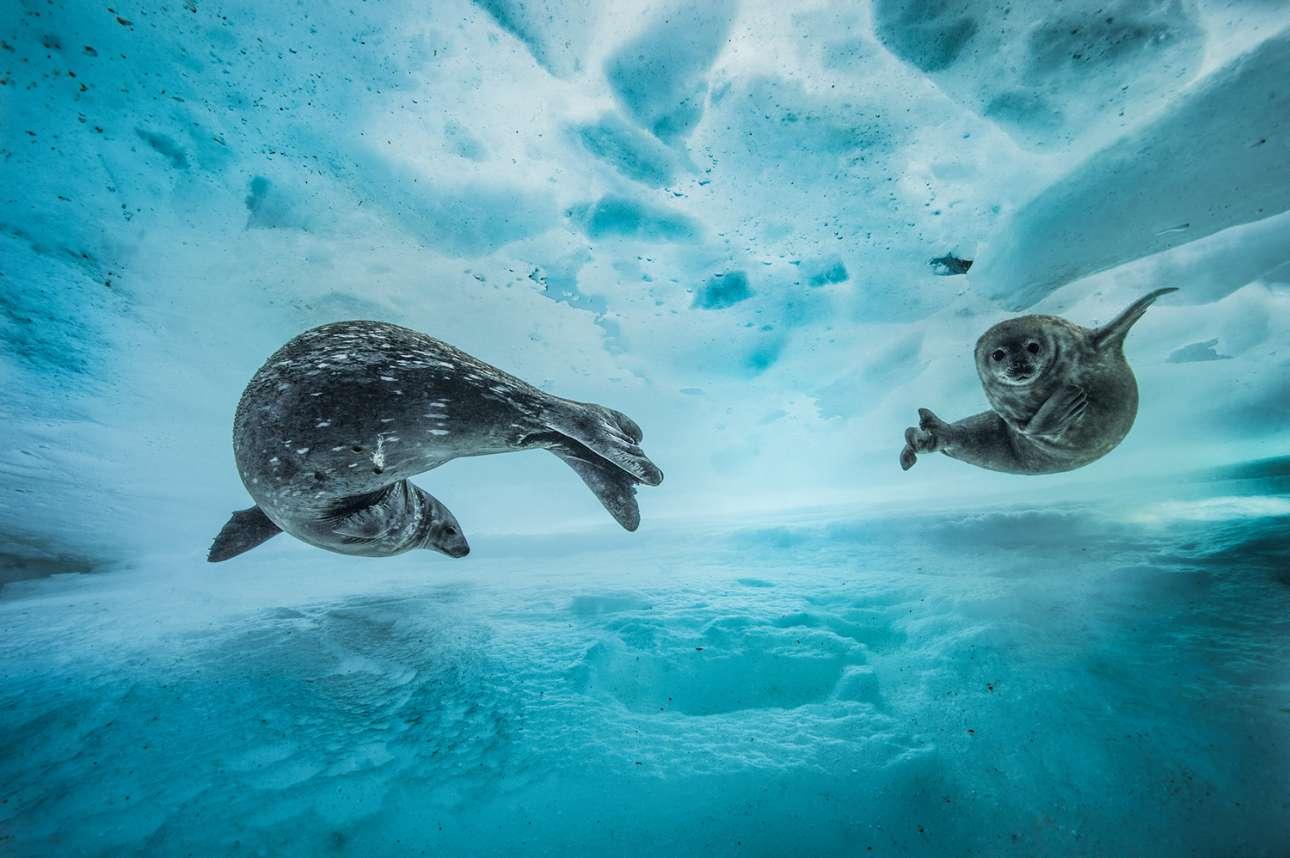 Κάτω από μία λεπτή στρώση πάγου στην ανατολική Ανταρκτική, μία φώκια μαθαίνει στο μωρό της να κολυμπάει