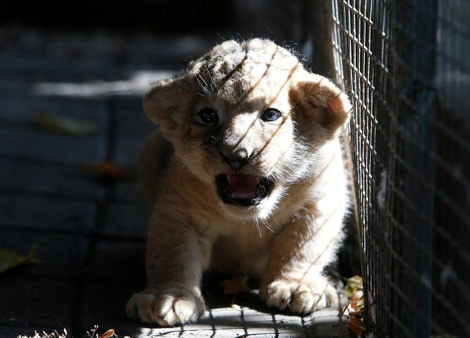 Τετάρτη, 20 Σεπτεμβρίου. Νεογέννητο λιοντάρι, ηλικίας τριών εβδομάδων, στο ζωολογικό κήπο της Σταυρούπολης, στη Ρωσία.