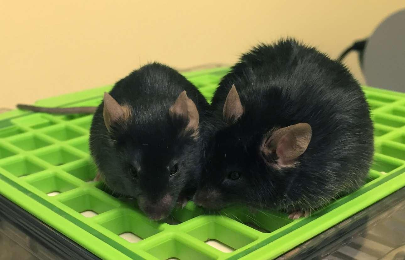 Οι επιστήμονες χρησιμοποίησαν γενετικά τροποποιημένα ποντίκια για την μελέτη του διαβήτη. Το ποντίκι στα δεξιά είναι υπέρβαρο λόγω μιας μετάλλαξης στο γονίδιο της ορμόνης λεπτίνη, η οποία ελέγχει τον μεταβολισμό του λίπους. Αυτά τα διαγονιδιακά ποντίκια αναπτύσσουν διαβήτη τύπου 2 και υπερευαισθησία στον πόνο, όπως ακριβώς οι διαβητικοί ασθενείς, ενώ τα φυσιολογικά ποντίκια (αριστερά) όχι