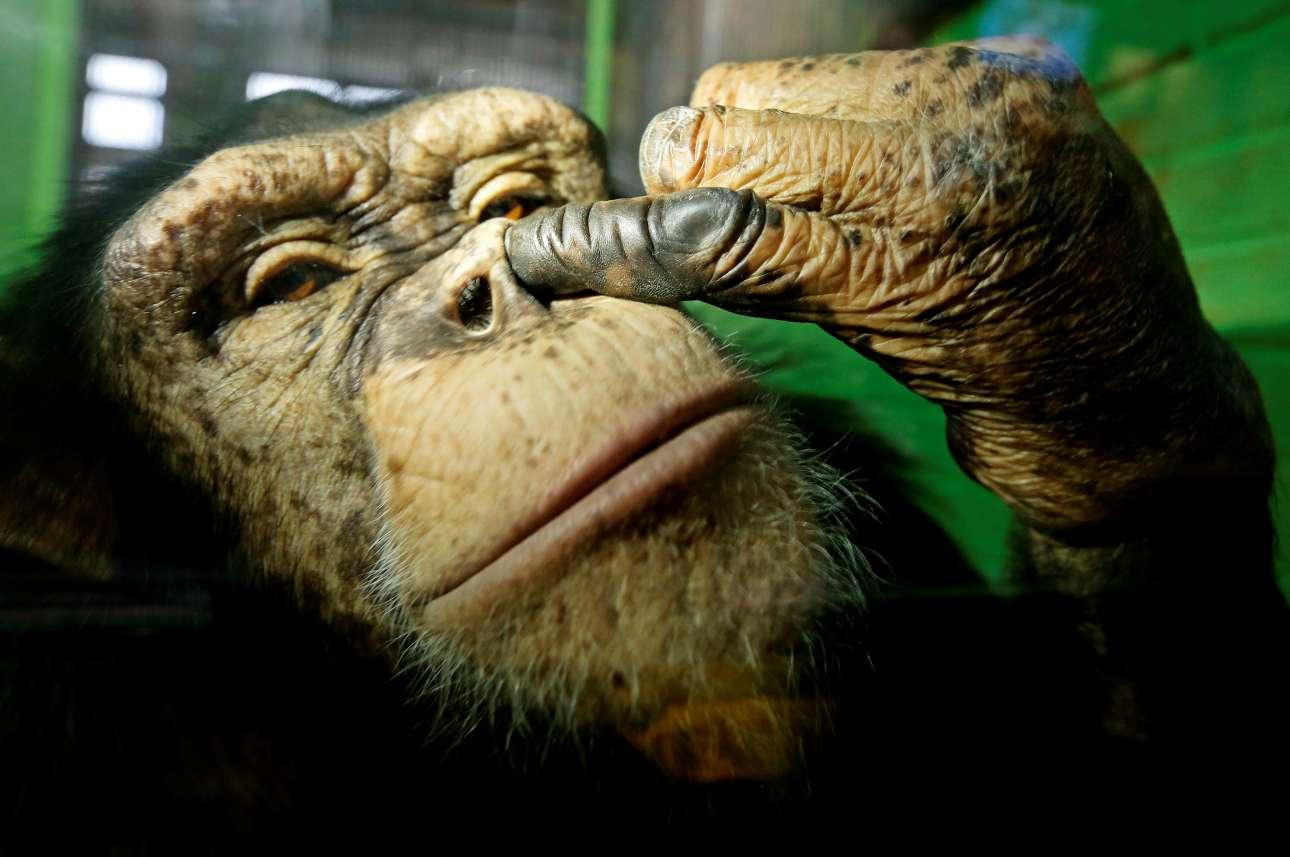 Τετάρτη, 18 Οκτωβρίου, Κρασνογιάρσκ, Ρωσία. Η Ανσίφα, ένας 12χρονος θηλυκός χιμπατζής σε μια μάλλον άτυχη πόζα, στον ζωολογικό κήπο Royev Ruchey της ρωσικής πόλης
