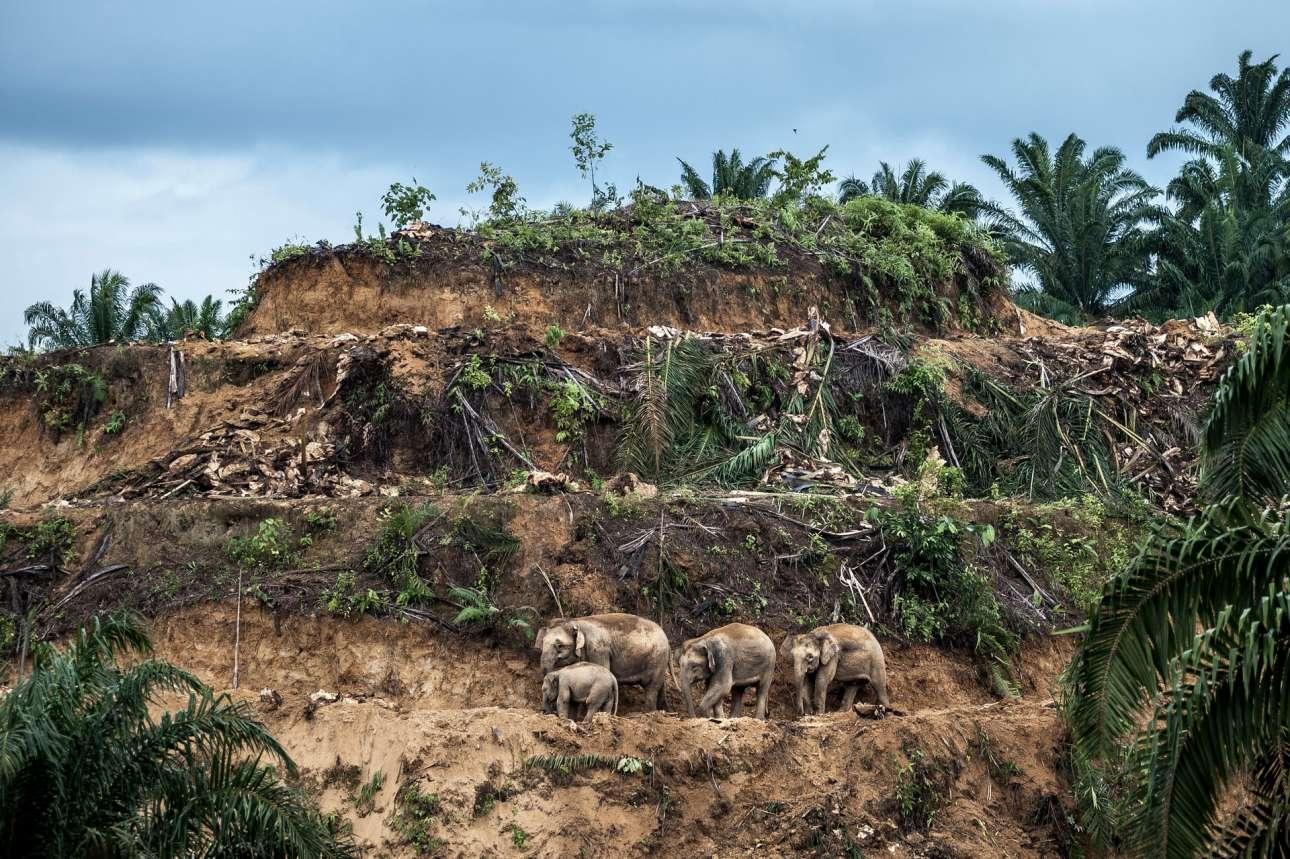 «Επιζήσαντες του Φοινικέλαιου», βραβείο κατηγορία Φωτορεπορτάζ άγριας Φύσης. Στο νησί του Βόρνεο, τρεις γενιές ελεφάντων διασχίζουν μια φυτεία φοινικέλαιου που ετοιμάζεται για αναφύτευση. Στη Μαλαισία, όπου υπάρχουν τα περισσότερα τροπικά δάση, η βιομηχανία φοινικέλαιου εξακολουθεί να συντελεί στην αποψίλωση, με αποτέλεσμα οι ελέφαντες να βρίσκονται συνέχεια υπό διωγμό