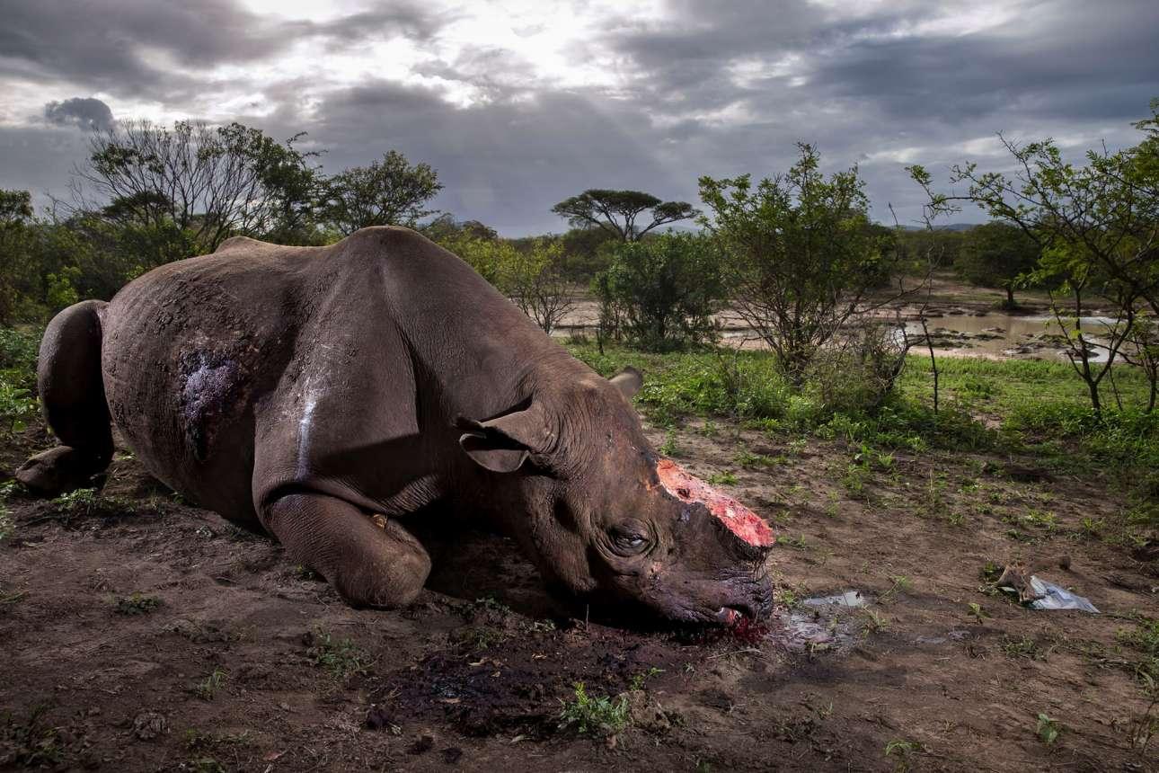 «Μνημόσυνο σε ένα είδος», πρώτο βραβείο. Μία συγκλονιστική εικόνα, ένας δολοφονημένος ρινόκερος με κομμένα κέρατα. Ντόπιοι λαθρέμποροι εισέβαλλαν κρυφά στο προστατευμένο πάρκο Hluhluwe Imfolozi της Νότιας Αφρικής, σκότωσαν τον ρινόκερο χρησιμοποιώντας όπλο με σιγαστήρα και του έκοψαν τα δύο κέρατα, για να τα εξάγουν σε Κίνα ή Βιετνάμ