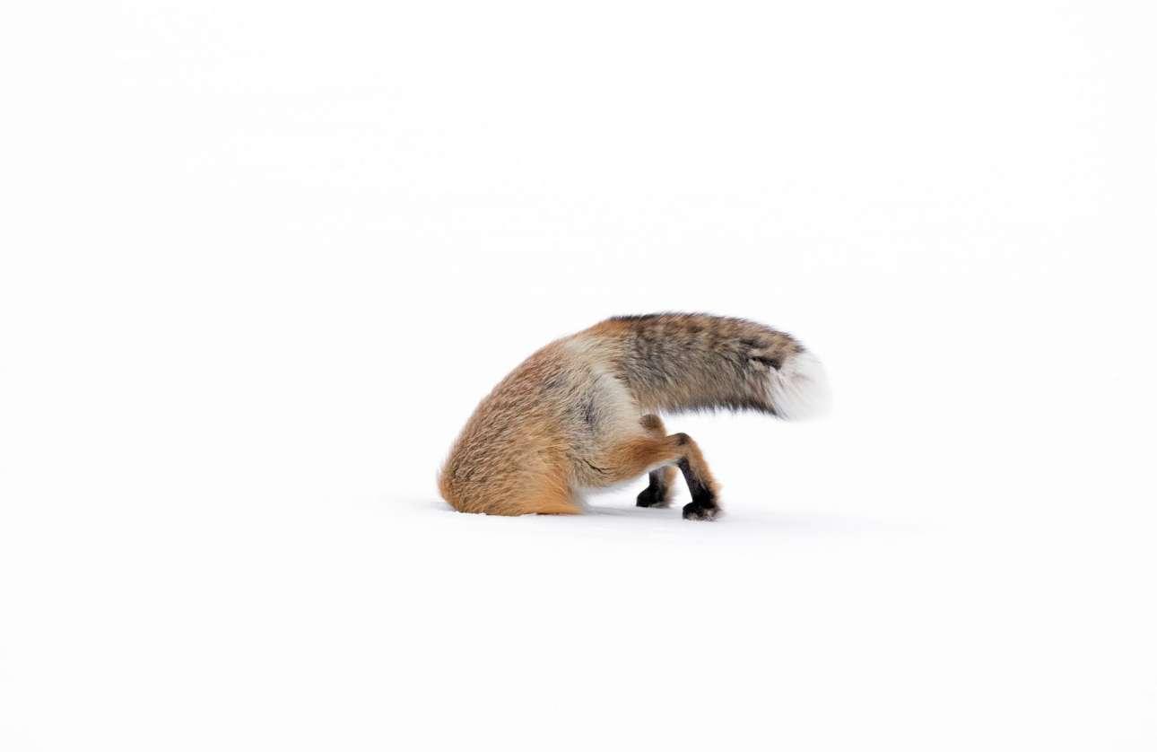 Βραβείο κατηγορία 11-14 ετών. Μια αμερικανική κόκκινη αλεπού ψάχνει για φαγητό κάτω από το πυκνό χιόνι στο Εθνικό Πάρκο Yellowstone στο Γουαϊόμινγκ των ΗΠΑ. Η εικόνα «αποτυπώνει την σκληρή πραγματικότητα της ζωής στο Yellowstone τον χειμώνα» λέει η νεαρή φωτογράφος Ασλεϊ Σκάλι