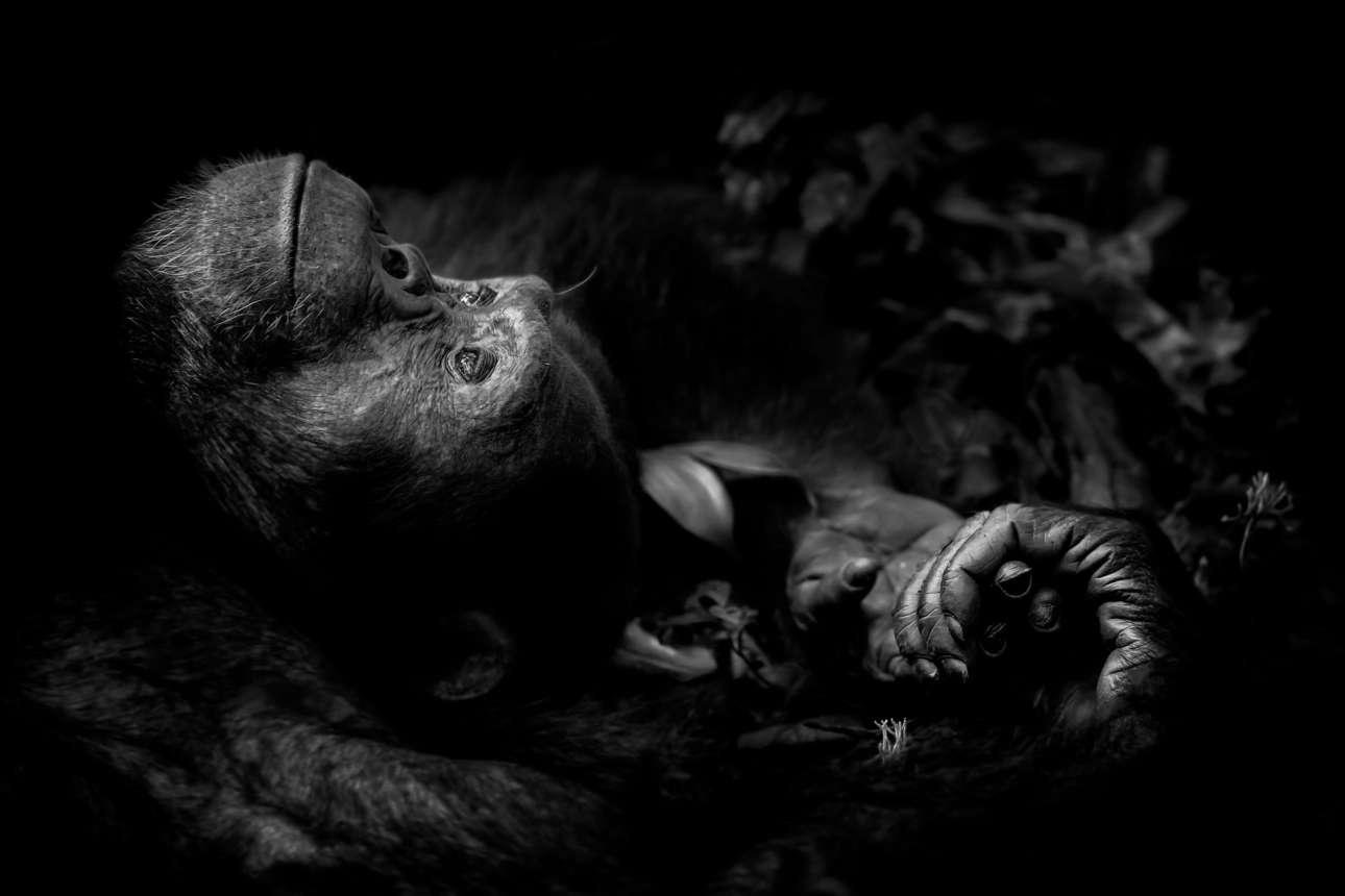 «Περισυλλογή», βραβείο κατηγορία Πορτρέτο Ζώου. Στο εθνικό πάρκο Κιμπάλε της Ουγκάντα, ο χιμπατζής Τότι ξόδεψε ώρες φλερτάροντας και χειρονομώντας για να τραβήξει την προσοχή ενός θηλυκού. Μονάχα όταν κατέρρευσε εξαντλημένος από τον χωρίς ανταπόκριση έρωτα του, είχε την ευκαιρία ο φωτογράφος να βγάλει αυτό το εκπληκτικό καρέ