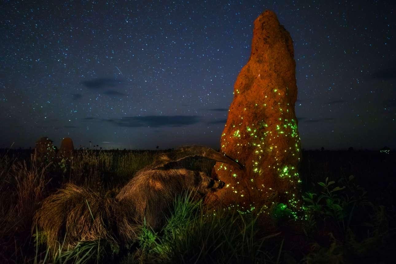 «Ο νυχτερινός Raider», βραβείο κατηγορία Ζώα στο Περιβάλλον τους. Το σπάνιο, μαγευτικό φαινόμενο της βιοφωταύγειας στο εθνικό πάρκο Εμα της Βραζιλίας όπου συγκεντρώνονται προνύμφες πυγολαμπίδες. Με το φως που ακτινοβολούν οι πυγολαμπίδες προσελκύουν το θήραμα τους, τους τερμίτες. Και αυτοί με τη σειρά τους τον πεινασμένο μυρμηγκοφάγο της φωτογραφίας...