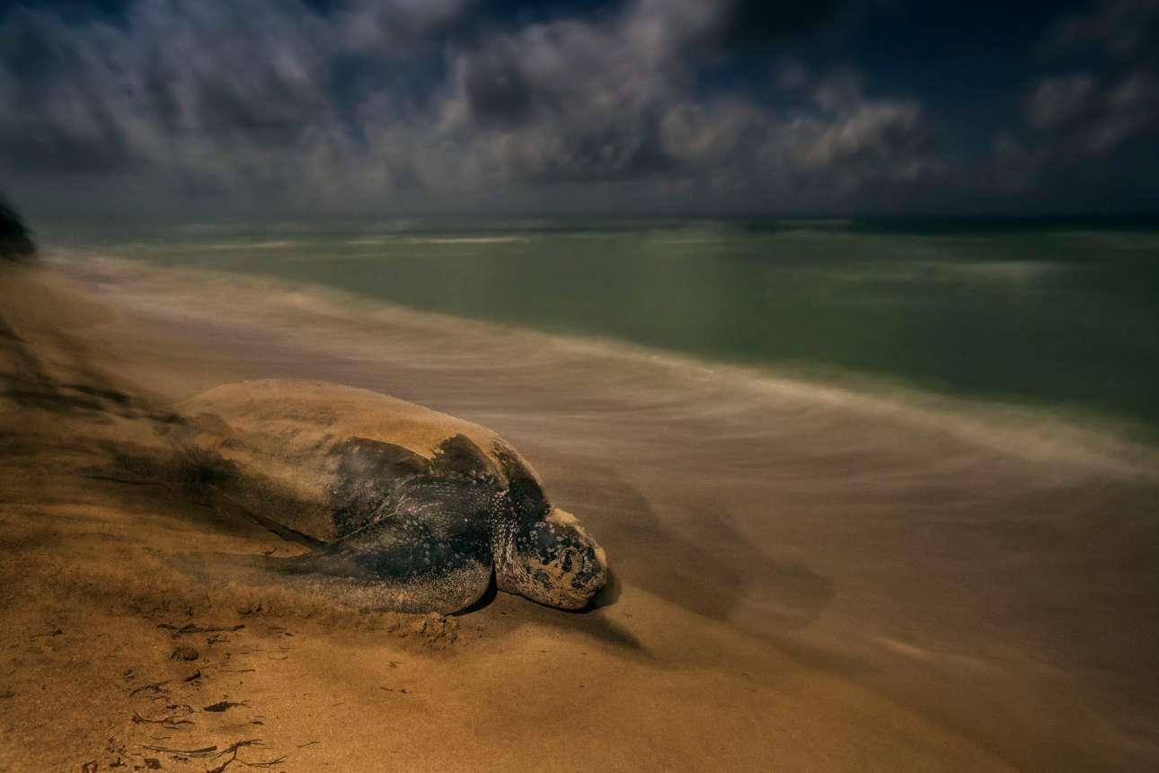 «Αρχαίο τελετουργικό», βραβείο κατηγορία Συμπεριφορά - Αμφίβια και Ερπετά. Οπως έχουν κάνει γενεές πριν απο αυτή, μία δερματοχελώνα επιστρέφει στον ωκεανό, έχοντας αφήσει τα αυγά της να εκκολαφθούν στην ακτή. Η δερματοχελώνα είναι το μεγαλύτερο είδος θαλάσσιας χελώνας, η οποία περνάει τον περισσότερο μέρος της ζωής της στην θάλασσα, «κάτω από ένα πέπλο μυστηρίου» όπως λέει ο φωτογράφος