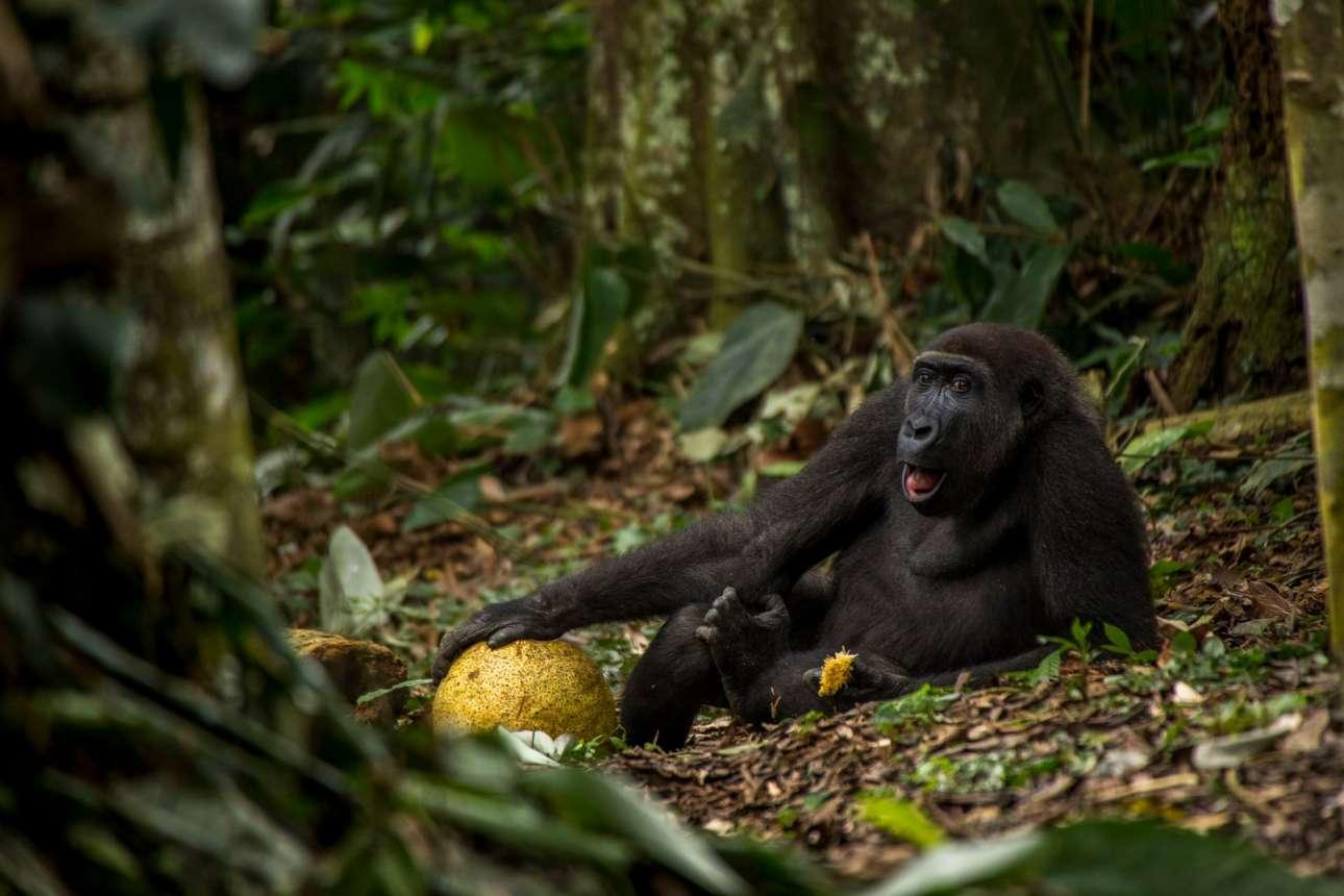 «Η καλή ζωή», βραβείο Νέος Φωτογράφος Αγριας Φύσης της Χρονιάς. Ο εννιάχρονος Κάκο απολαμβάνει ένα φρούτο στο εθνικό πάρκο Οντζάλα στη Λαϊκή Δημοκρατία του Κονγκό. Οι δυτικοί πεδινοί γορίλες είναι ένα εξαιρετικά απειλούμενο είδος, το οποίο κινδυνεύει από λαθροθηρία για το κρέας του, ασθένειες (κυρίως από τον ιό Ebola), απώλεια των οικοτόπων τους και τις συνέπειες της κλιματικής αλλαγής