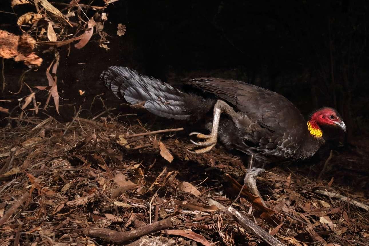 «Το πουλί θερμοκοιτίδα», βραβείο κατηγορία Συμπεριφορά - Πτηνά. Τα περισσότερα πουλιά επωάζουν τα αυγά τους με το σώμα τους, όχι όμως και η αυστραλιανή γαλοπούλα. Σε αυτό το είδος το αρσενικό δημιουργεί μία φωλιά χρησιμοποιώντας φύλλα για μόνωση και για να αυξήσει τη θερμοκρασία, όπως διακρίνεται και στην εικόνα