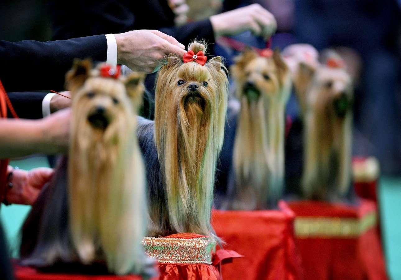 Καλλωπισμένα Γιορκσάιρ Τεριέ αναμένουν τη βαθμολογία τους στα καλλιστεία σκύλων Crufts, στο Μπέρμινγχαμ