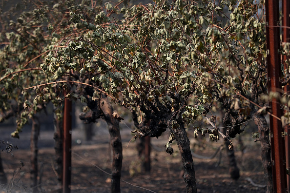 GLEN ELLEN, CA - OCTOBER 10: Scorched leaves hang from burned grave vines on October 10, 2017 in Glen Ellen, California. Fifteen people have died in wildfires that have burned tens of thousands of acres and destroyed over 2,000 homes and businesses in several Northen California counties. (Photo by Justin Sullivan/Getty Images)