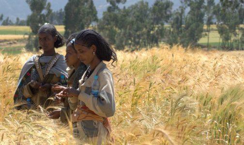 Farmers evaluating traits of wheat varieties Ethiopia-1290