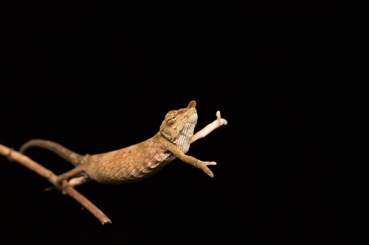 Ενας χαμαιλέοντας χορεύει πάνω σε κλαδί, χωρίς παρτενέρ δυστυχώς, στη Μαγαδασκάρη
