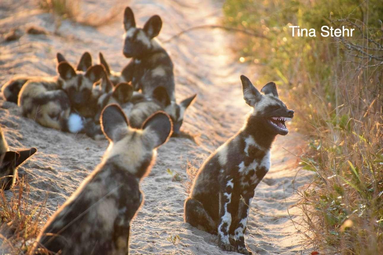 Μία παρέα αφρικανικών άγριων σκυλιών διασκεδάζει σε πάρκο της Νότιας Αφρικής