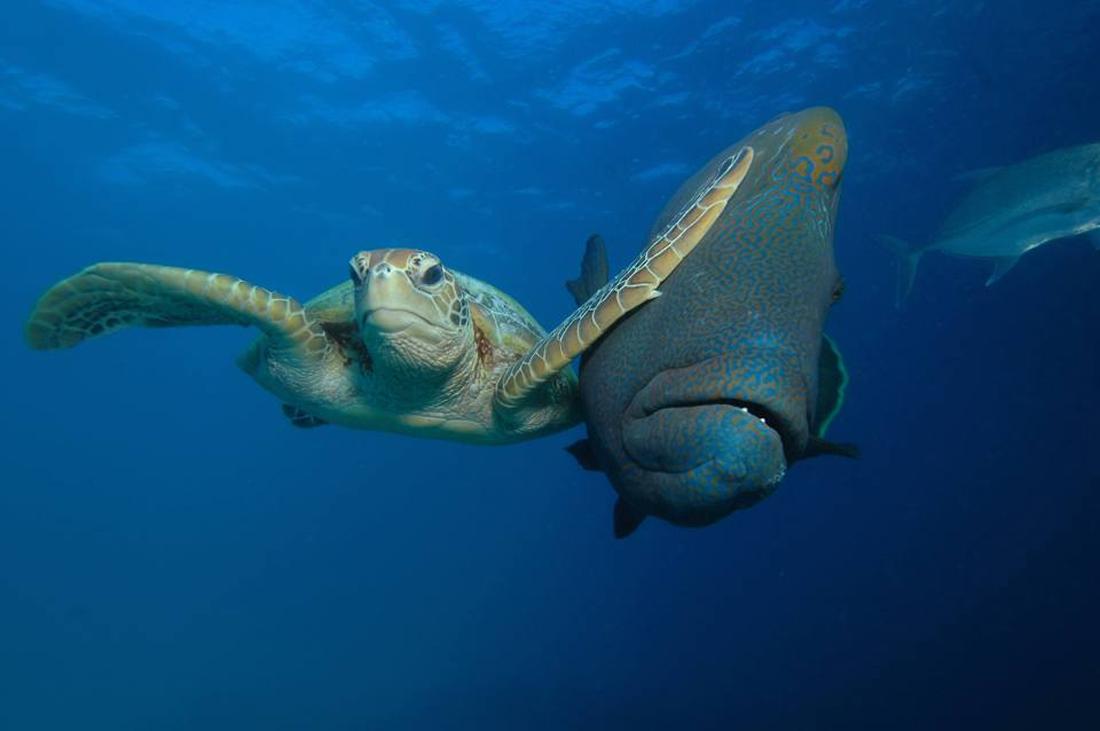 Μία θαλάσσια χελώνα «τρακάρει» με ένα γιγαντιαίο ψάρι Ναπολέων στον κοραλιογεννή ύφαλο της πολιτείας Κουίνσλαντ, στην Αυστραλία