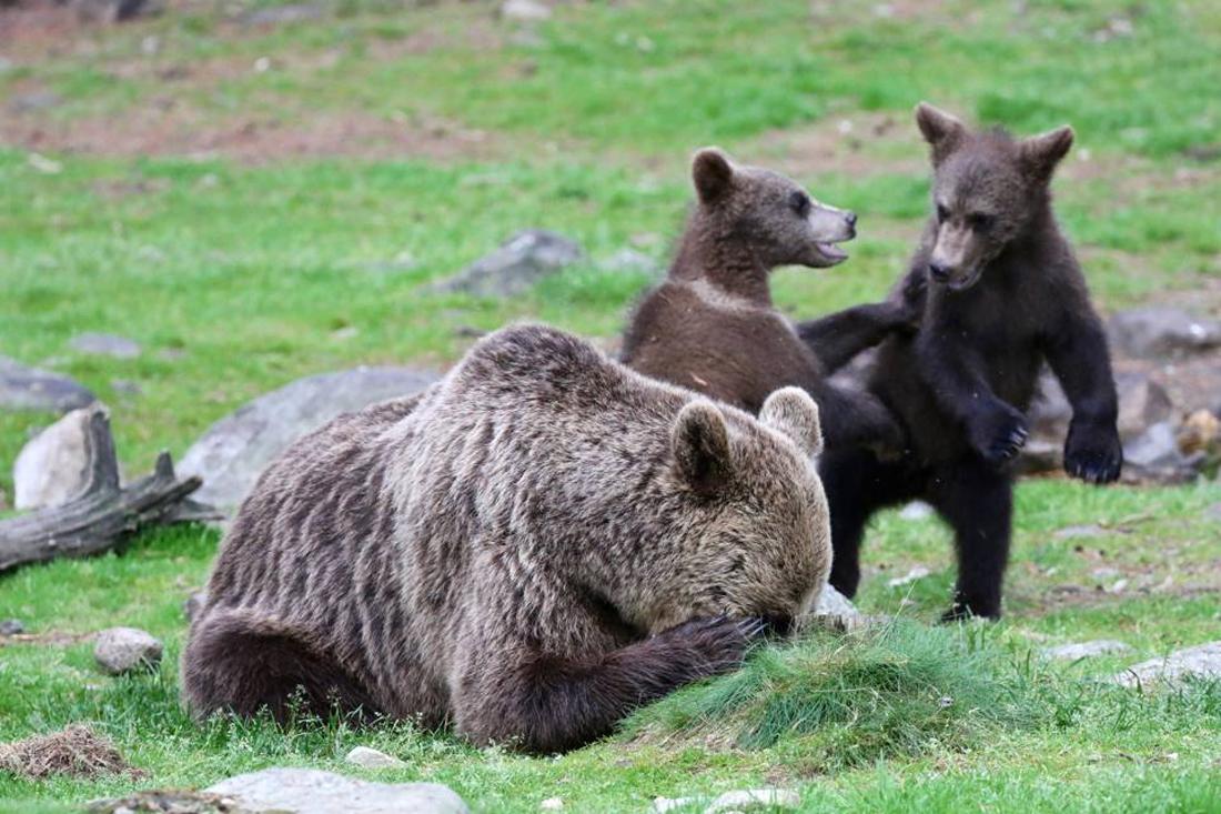 Μητέρα στα πρόθυρα νευρικής κρίσης...Μία καφέ αρκούδα στη Φινλανδία ψάχνει για λίγη ησυχία καθώς τα μικρά της μαλώνουν στο βάθος