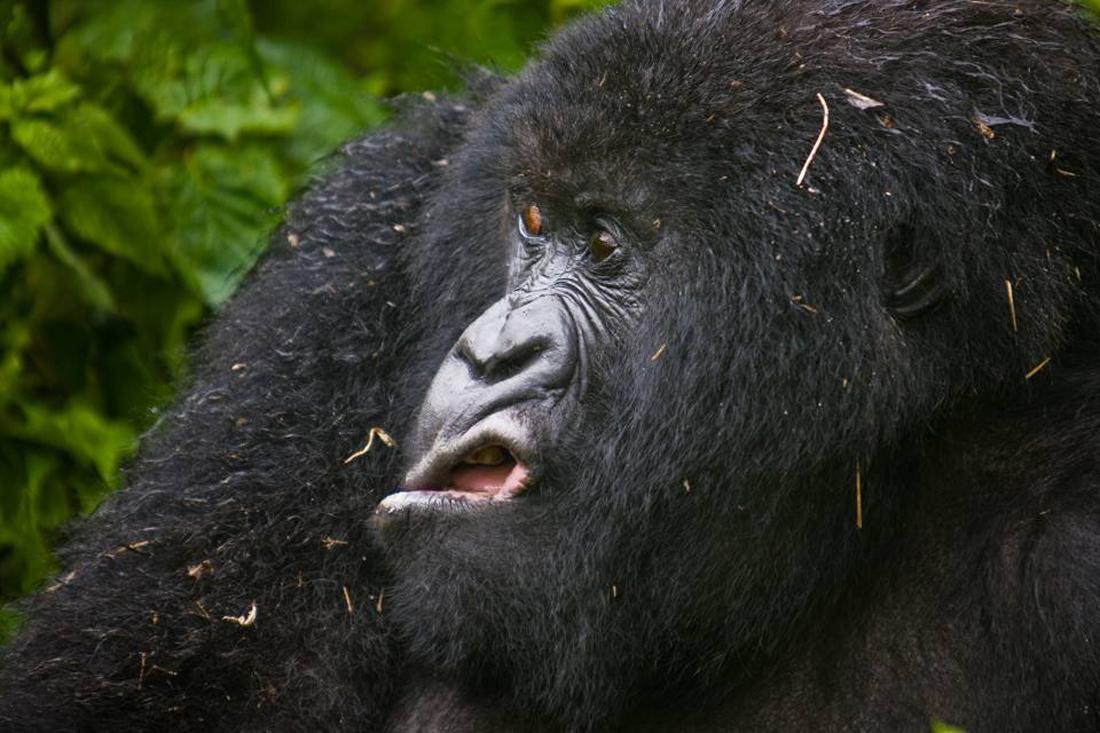 Ο φωτογράφος απαθανάτισε αυτή την εκπληκτική γκριμάτσα του γορίλα, στο Εθνικό Πάρκο της Ρουάντα