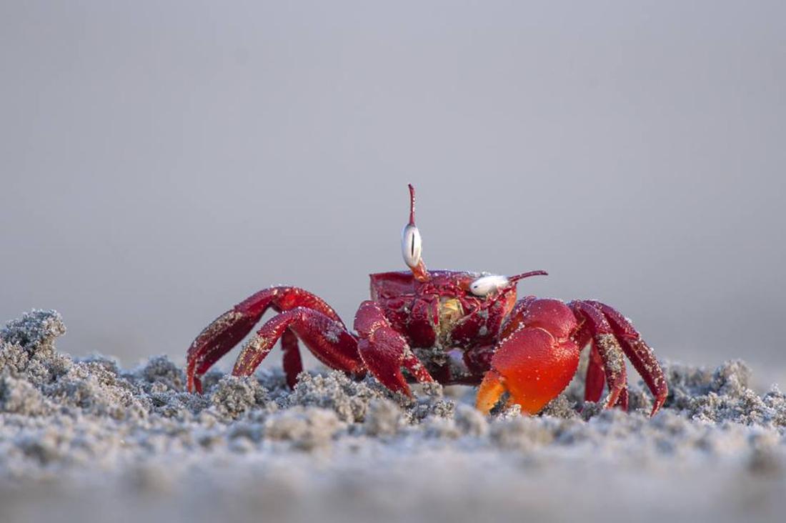 Μία συνηθισμένη διαδικασία καθαρισμού με πολύ αστεία αποτελέσματα. Βγαίνοντας από την άμμο, ένα κόκκινο καβούρι καθαρίζει τα μάτια του στην παραλία Frazergunj της Ινδίας