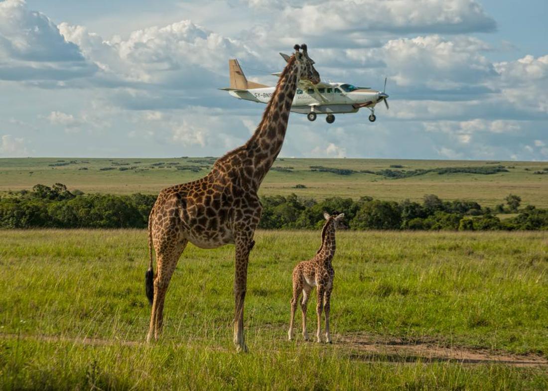 Καμηλοπάρδαλη στο Εθνικό Πάρκο Μασάι Μάρα της Κένυας ελέγχει... αν οι επιβάτες του διερχόμενου αεροπλάνου φορούν ζώνες