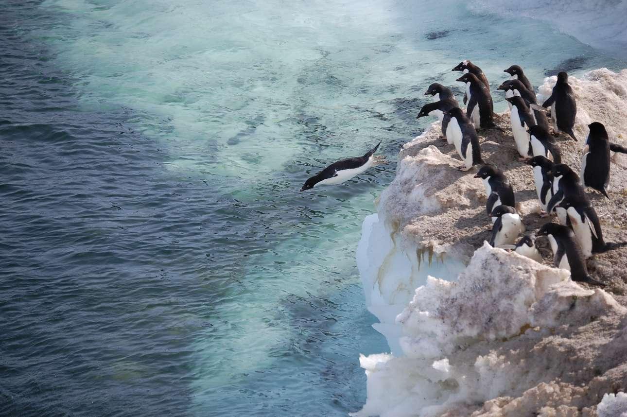 Πινγκουίνοι βουτάνε στη θάλασσα, στη νήσο Ρος