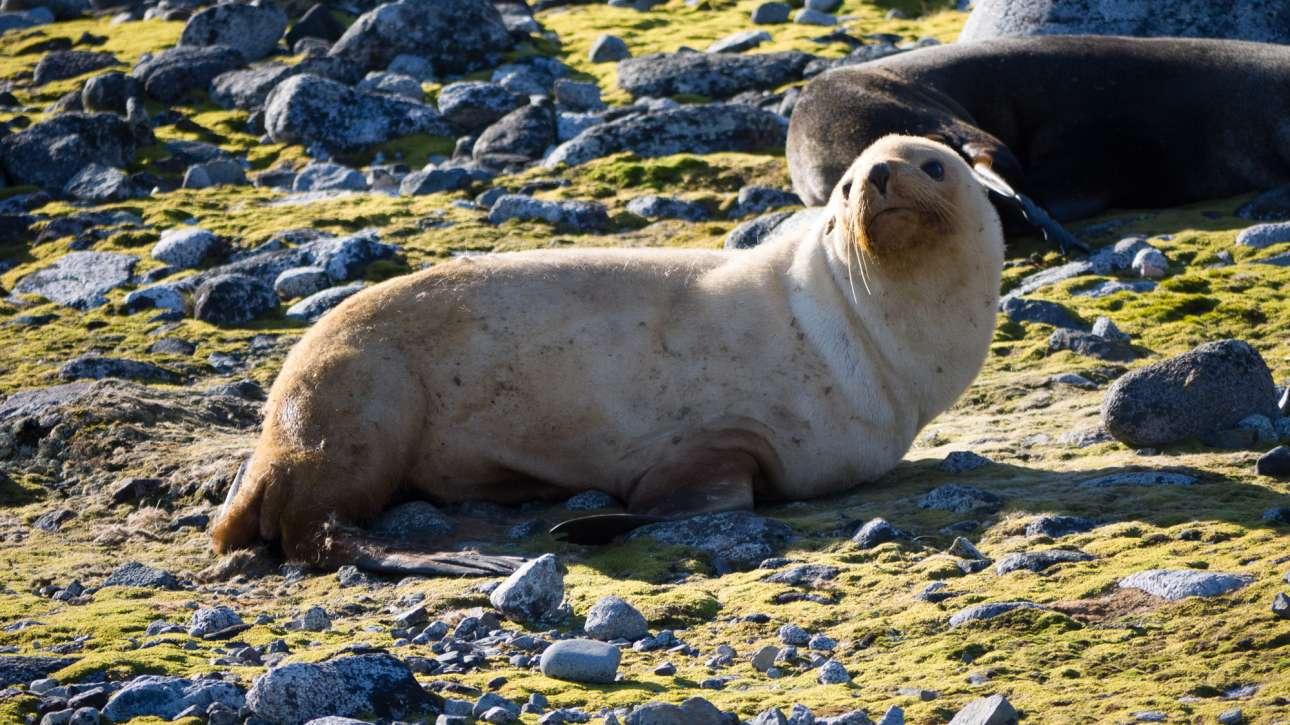 Φώκια με σπάνια, ξανθιά γούνα κοντά στον σταθμό Πάλμερ, στην Ανταρκτική χερσόνησο