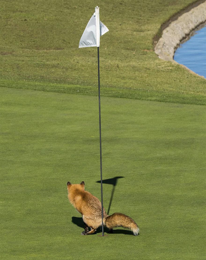 Για τουαλέτα μάλλον πέρασε η αλεπού της φωτογραφίας την τρύπα σε γήπεδο γκολφ στην Καλιφόρνια