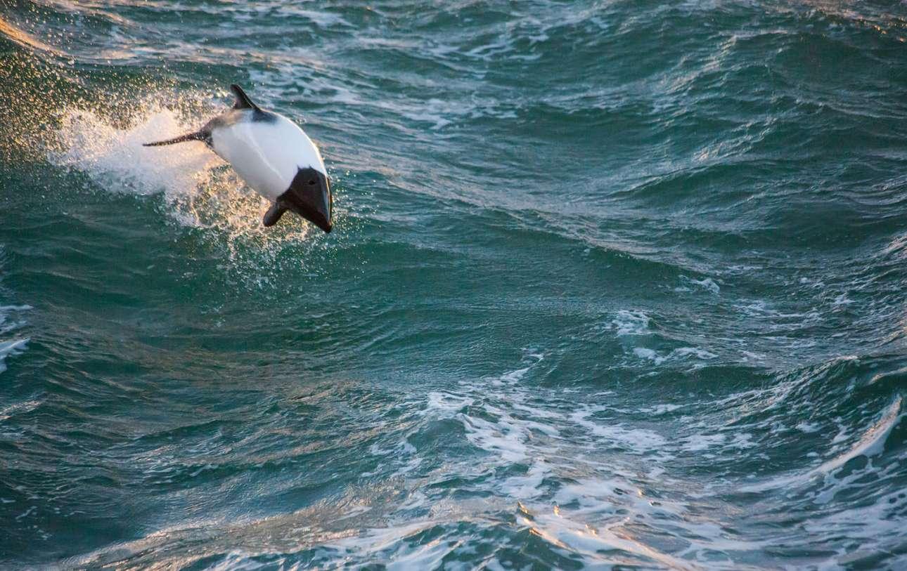 Ενα «δελφίνι - πάντα» κολυμπάει στα απόνερα του σκάφους Laurence M. Gould, το οποίο βρίσκεται σε πορεία προς τον σταθμό Πάλμερ