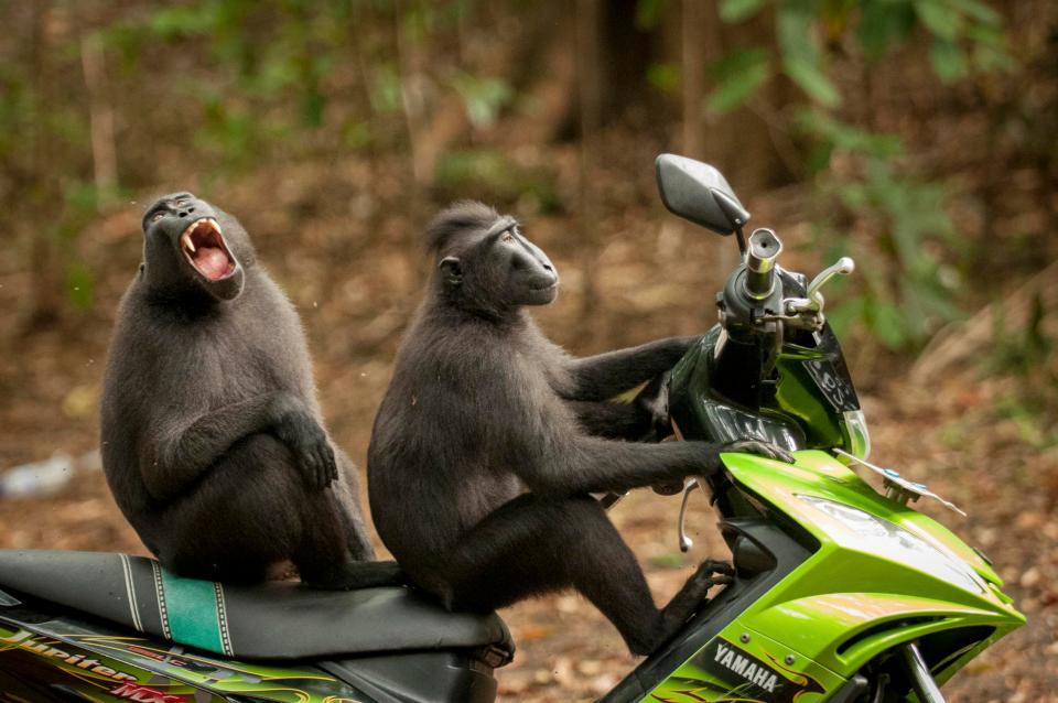 Δύο «ξένοιαστοι καβαλάρηδες» πίθηκοι στο προστατευόμενο πάρκο Tangkoko στην Ινδονησία