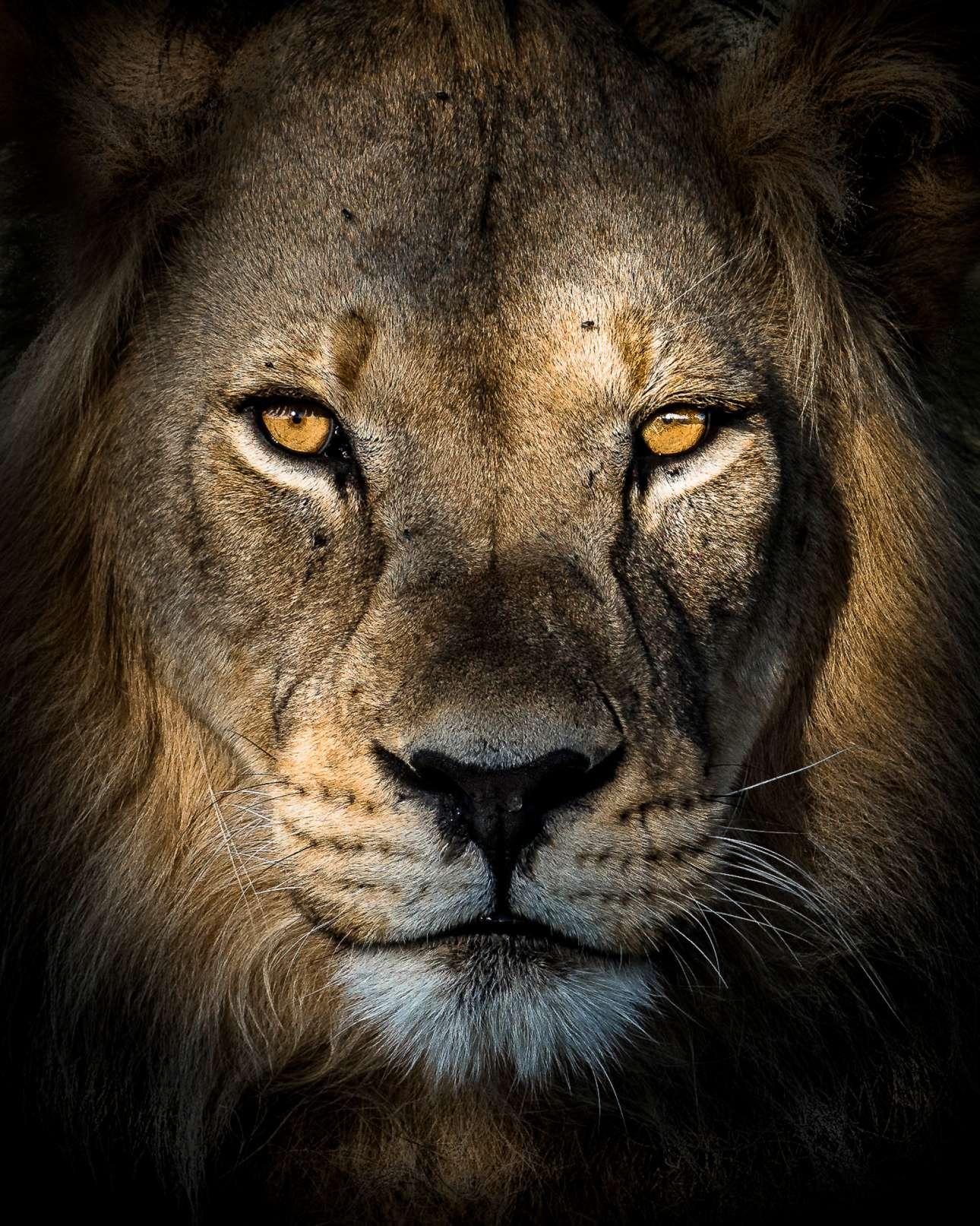 «Αφρικανικό Μυστήριο». Τα λιοντάρια της Καλαχάρι, στη Νότια Αφρική, φημίζονται για τη μαύρη χαίτη τους. Ο γάλλος φωτογράφος είχε την ευκαιρία να απαθανατίσει τη θρυλική ομορφιά αυτών των ζώων κατά τη διάρκεια επίσκεψής του στο προστατευόμενο Πάρκο Καλαχάρι, την ώρα που ο ήλιος έδυε