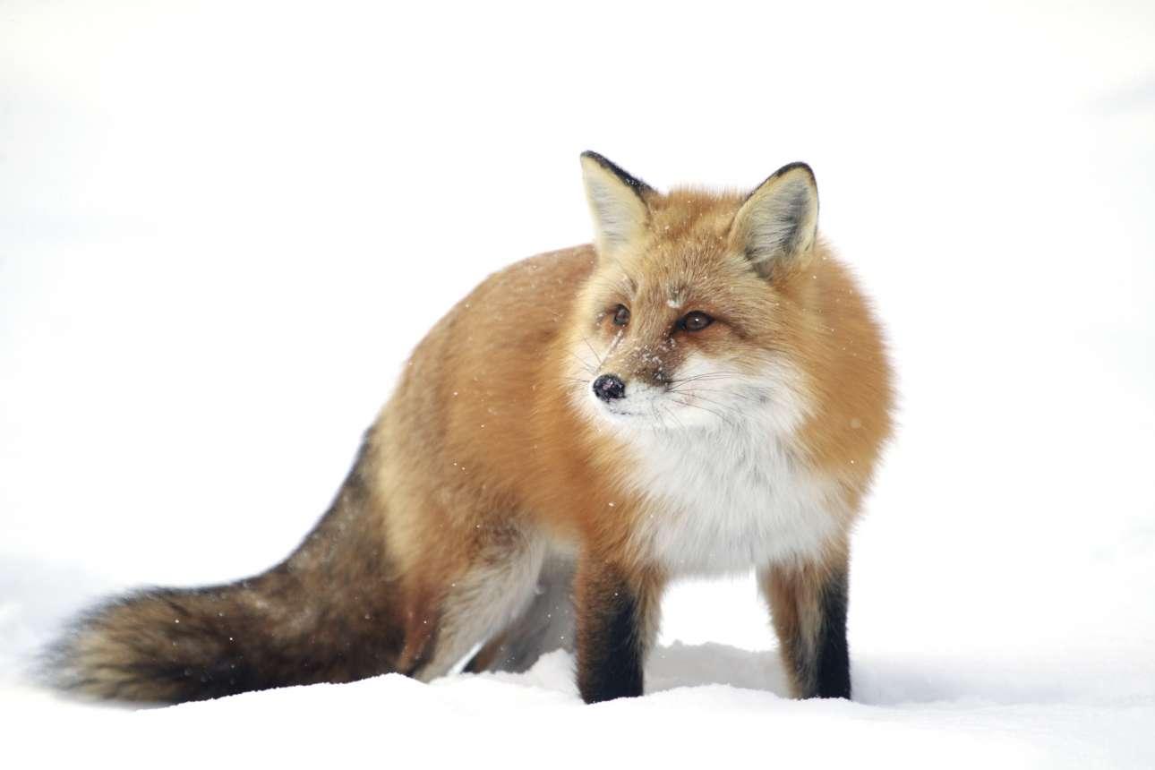Μία πανέμορφη κόκκινη αλεπού σε χιονισμένο τοπίο του Καναδά. «Μέσα στα χρόνια την έχω φωτογραφίσει αρκετές φορές. Αυτό που με βοηθάει να την ξεχωρίσω είναι η χαρακτηριστική της μύτη. Αυτή τη φορά κατέβηκα πιο χαμηλά για να απομονώσω το χιόνι και να δημιουργήσω αυτό το κατάλευκο φόντο» γράφει ο φωτογράφος
