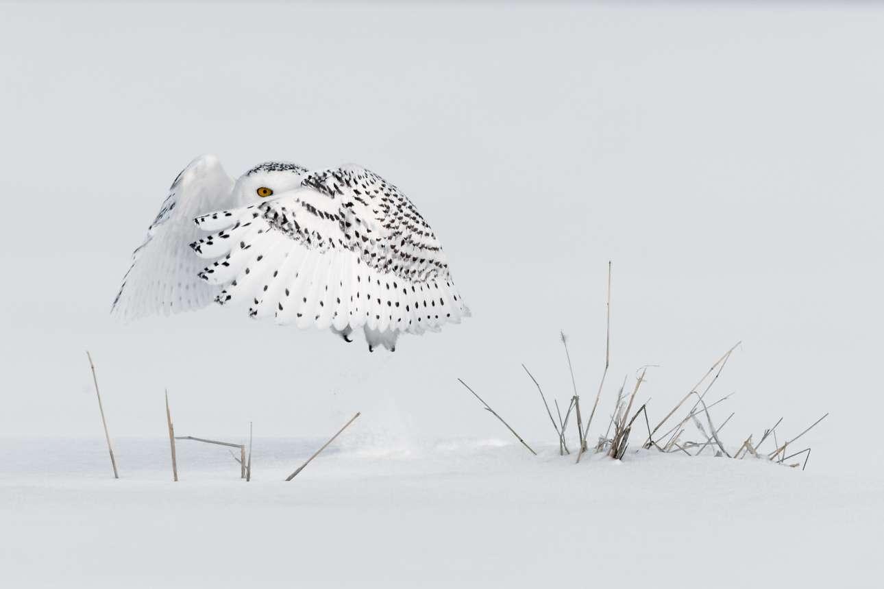Μια χιονισμένη κουκουβάγια πετάει ανήσυχη καθώς ακούει το κάλεσμα μίας ακόμη θηλυκής
