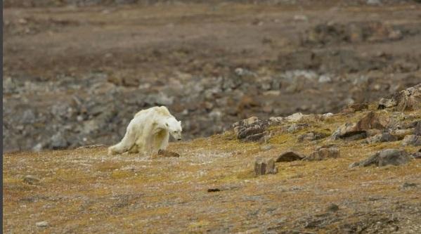 H εικόνα της αποστεωμένης αρκούδας που αργοπεθαίνει, αναδεικνύει την σκληρή πραγματικότητα της κλιματικής αλλαγής (Instagram / Paul Nicklen)