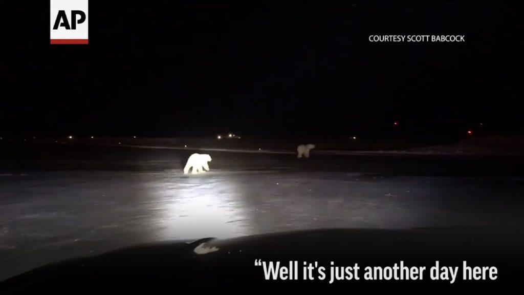 runway-inspector-finds-polar-bea