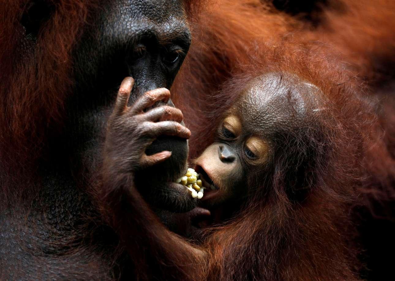 Παρασκευή, 12 Ιανουαρίου, Σιγκαπούρη. Η Κάνσα, ένα μωρό ουρακοτάγκος τρώει μαζί με τη μητέρα της στον ζωολογικό κήπο
