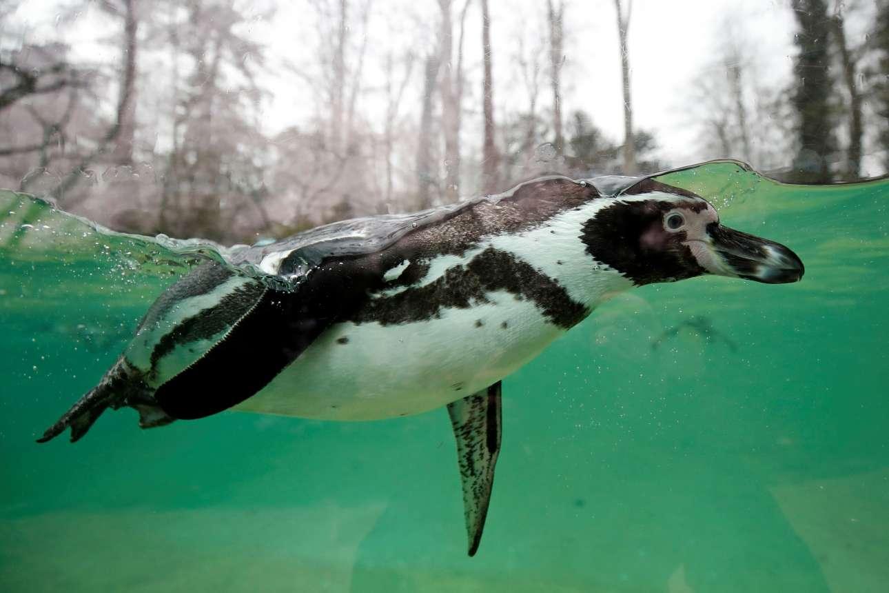 Σάββατο, 13 Ιανουαρίου. Πιγκουίνος του είδους Humboldt κολυμπά σε ζωολογικό πάρκο στην κεντρική Γαλλία
