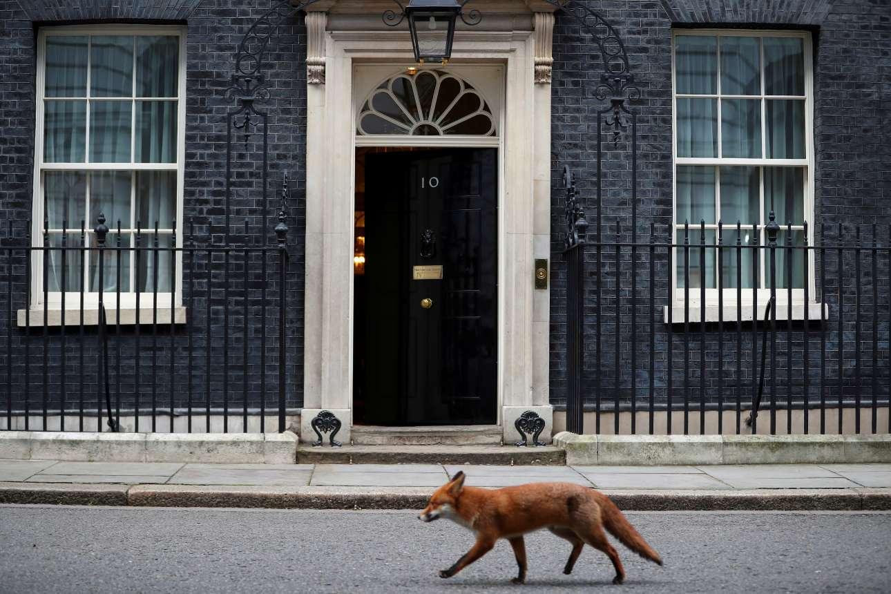 Τρίτη, 16 Ιανουαρίου, Λονδίνο. Μια αλεπού περνά έξω από την πόρτα της πρωθυπουργικής κατοικίας στον αριθμό 10 της Ντάουνινγκ Στριτ!