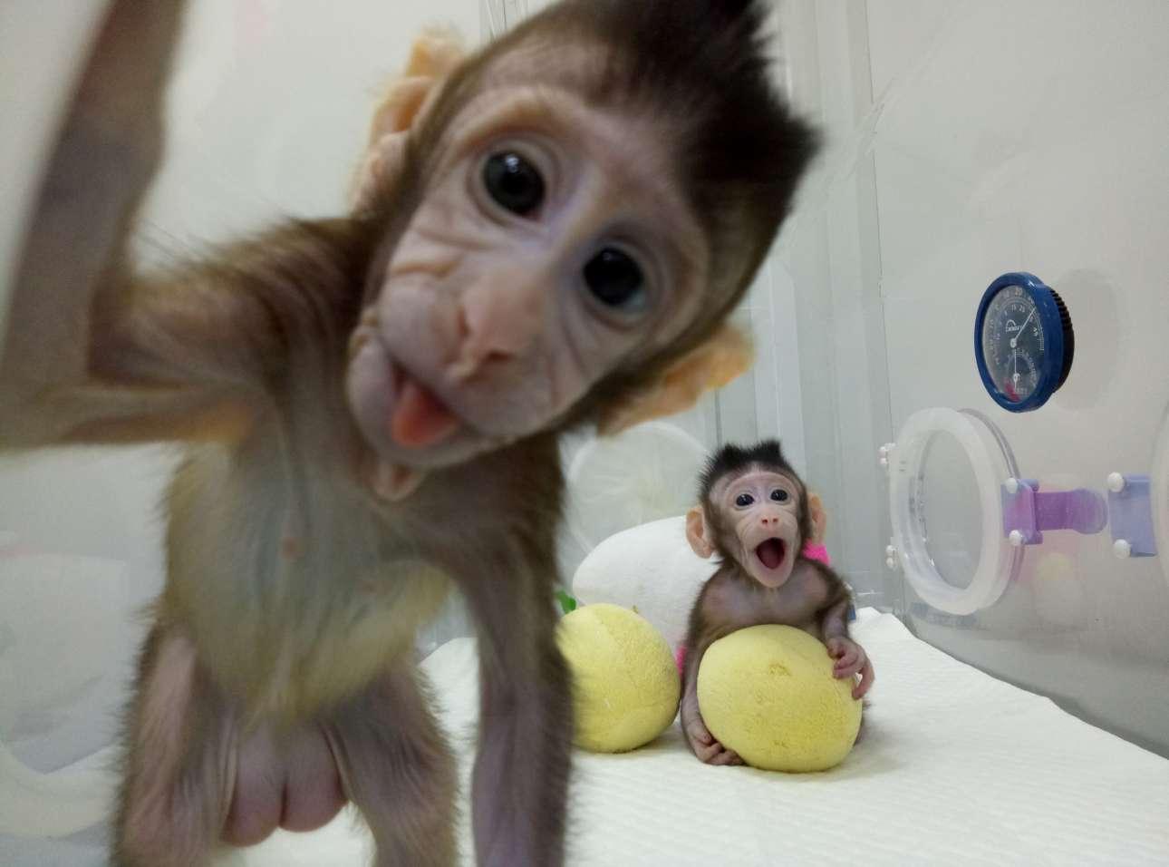 Τετάρτη, 24 Ιανουαρίου, Κίνα. Τα κλωνοποιημένα θηλυκά μαϊμουδάκια Ζονγκ Ζονγκ και Χούα Χούα διακρίνονται σε ειδικό θάλαμο στην Κινεζική Ακαδημία Επιστημών, στη Σαγκάη. Σύμφωνα με τους επιστήμονες, τα μαϊμουδάκια κλωνοποιήθηκαν με την μέθοδο κλωνοποίησης που δημιούργησε το διάσημο πρόβατο Ντόλι και στόχος είναι να δημιουργηθούν παρτίδες γενετικά όμοιων μαϊμούδων για χρήση στην ιατρική έρευνα